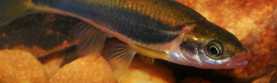 Blackside Dace Protection and Enhancement Plan