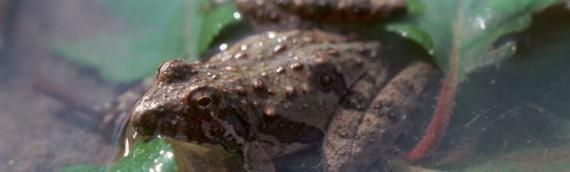 Reptiles and Amphibians of Southeastern South Dakota