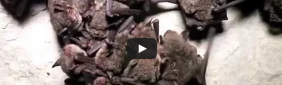 Documentary: Spring Migration of the Indiana Bat