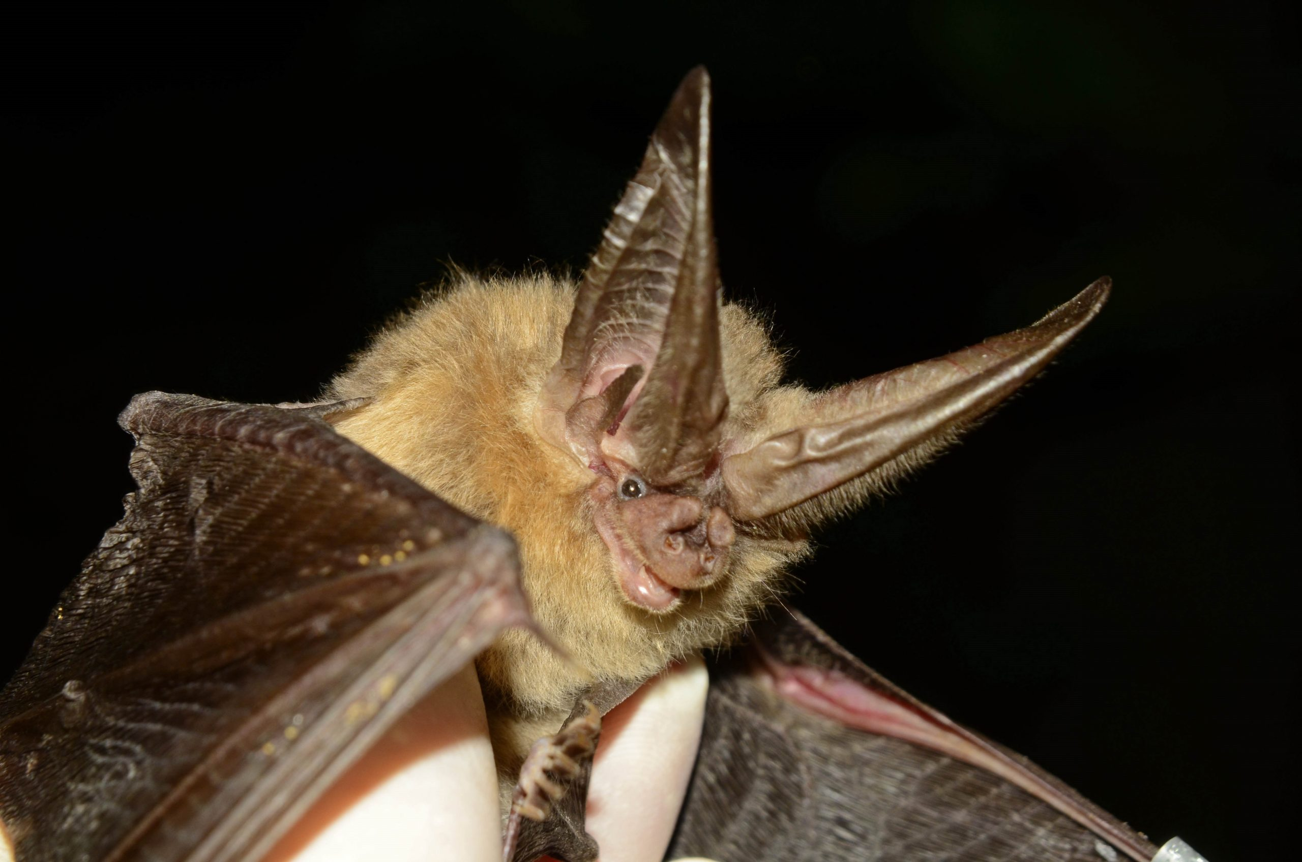 Copperhead Consulting, Kentucky, Bat Research and Surveys